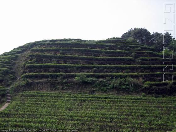 查看文章    风光旖旎的中国茶山竹海—国家森林公园图片